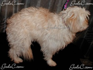 Osato the Maltipoo before grooming right side view