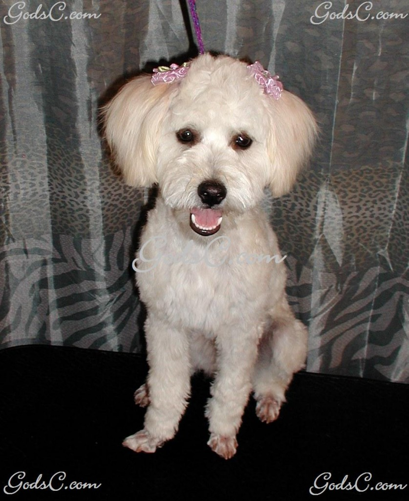 Rosabelle the Poodle Mix after grooming front view