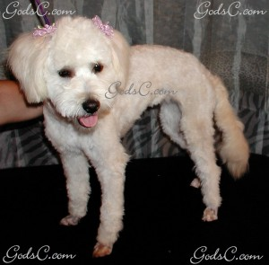 Rosabelle the Poodle Mix after grooming left side view