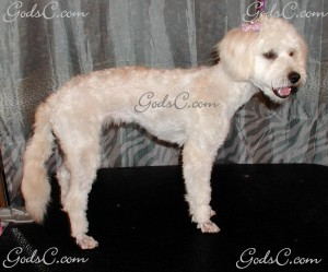 Rosabelle the Poodle Mix after grooming right side view