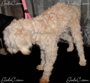 Rosabelle the Poodle Mix  before grooming left side view