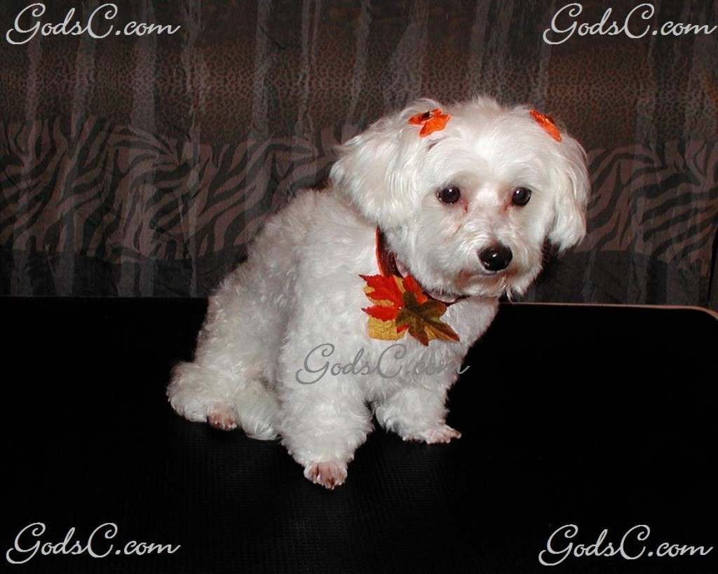 Winona the Maltipoo after grooming front view