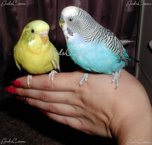 2 Parakeets perched on a hand