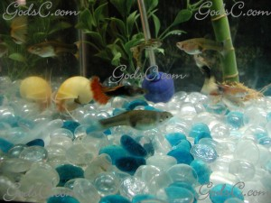 A small school of guppies