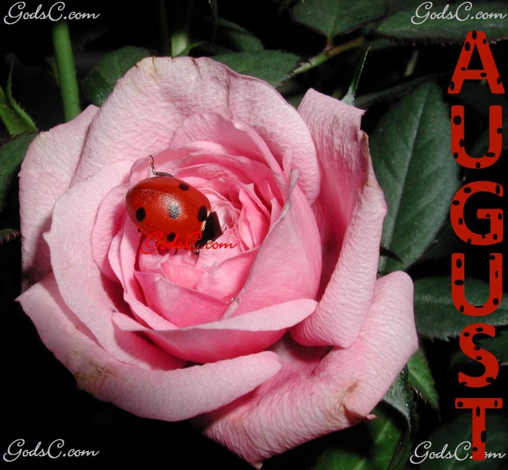August Ladybug on a Rose
