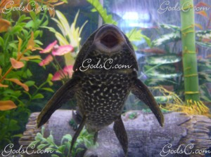 Plecostomus (Algae eating fish)