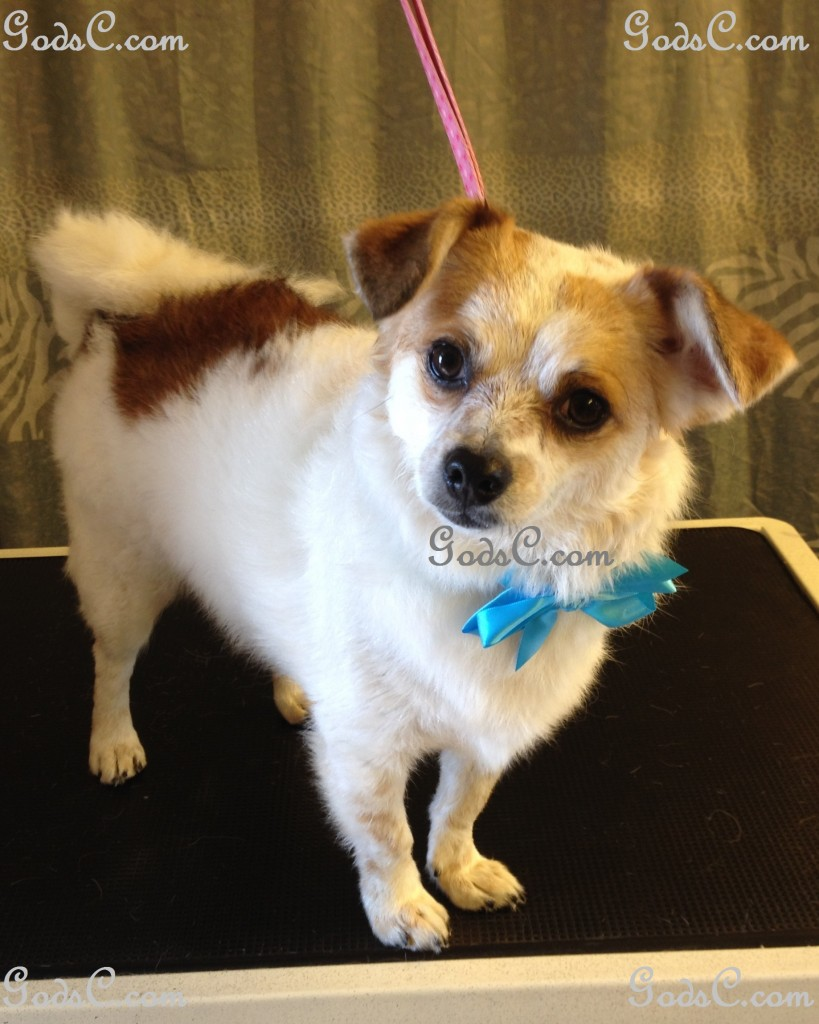 Pepper the Chihuahua Russell Terrier Mix After Grooming