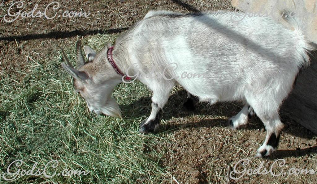 Feeding Goats Alfalfa | God's Creatures