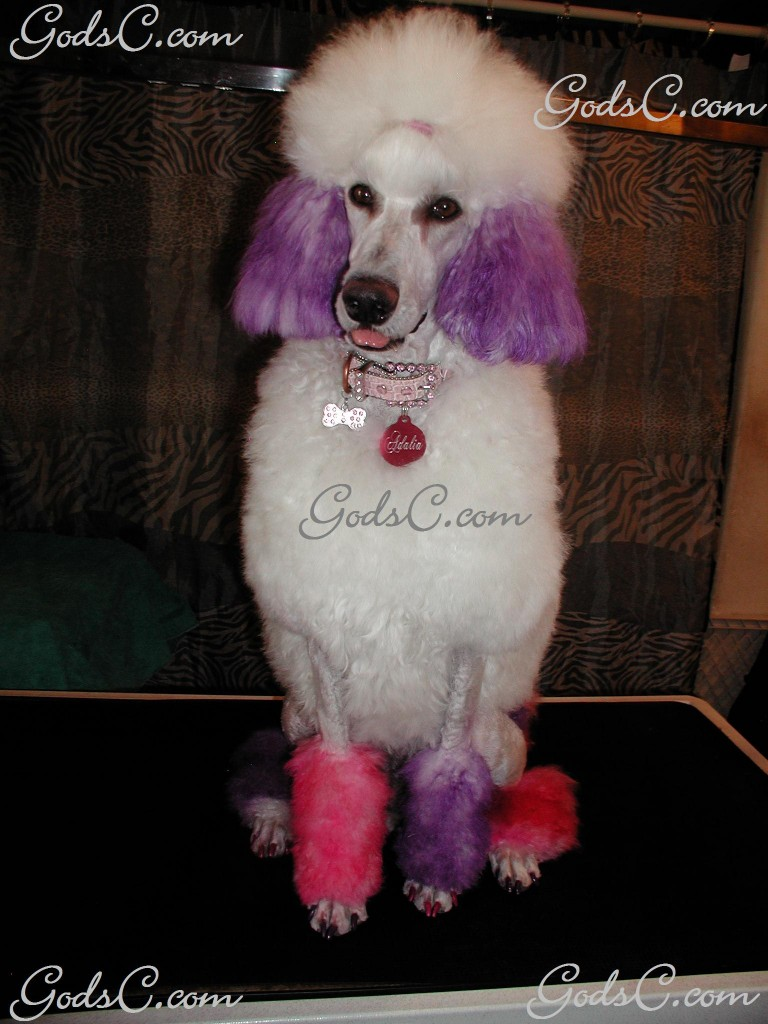 Adalia the Standard Poodle after grooming front view