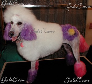 Adalia the Standard Poodle after grooming left side view 2013
