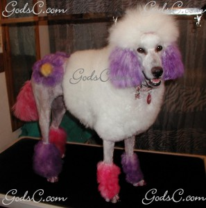 Adalia the Standard Poodle after grooming right side view 2013