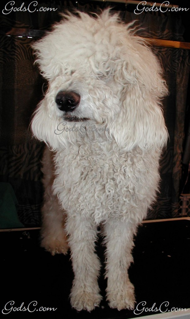 Adalia the Standard Poodle before grooming front view 2013
