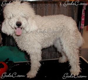 Adalia the Standard Poodle before grooming left side view 2013