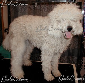Adalia the Standard Poodle before grooming right side view 2013