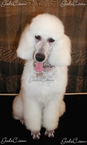 Adalia the Standard Poodle puppy  after grooming front view