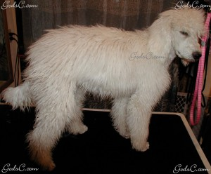 Adalia the Standard Poodle puppy  before grooming right side view