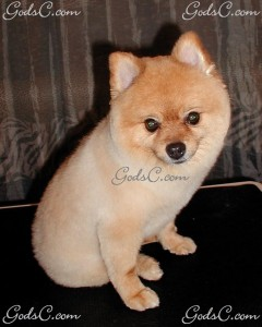 Baby the Pomeranian after grooming front view 2013