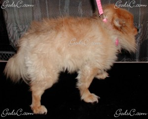 Baby the Pomeranian before grooming right side view 2013