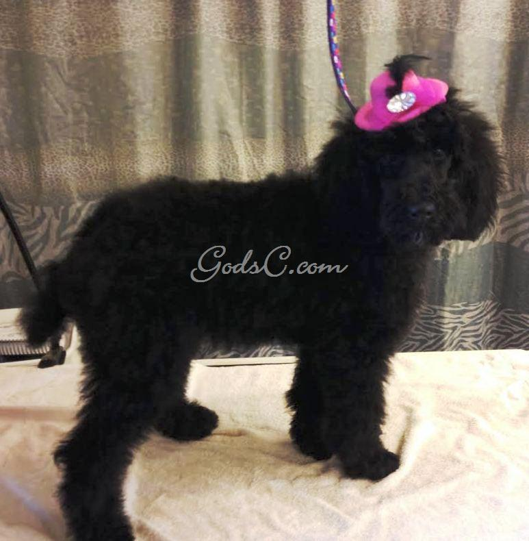 Fancy the Standard Poodle Puppy with a hat after grooming right side view