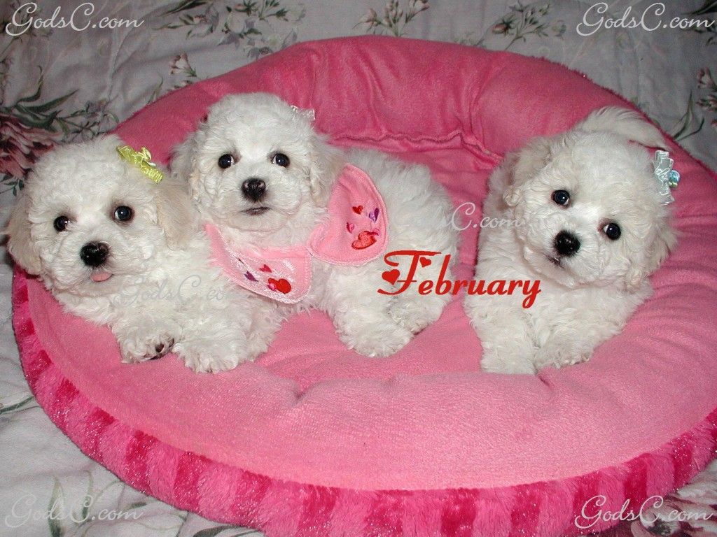 February Bichon Frise Puppies