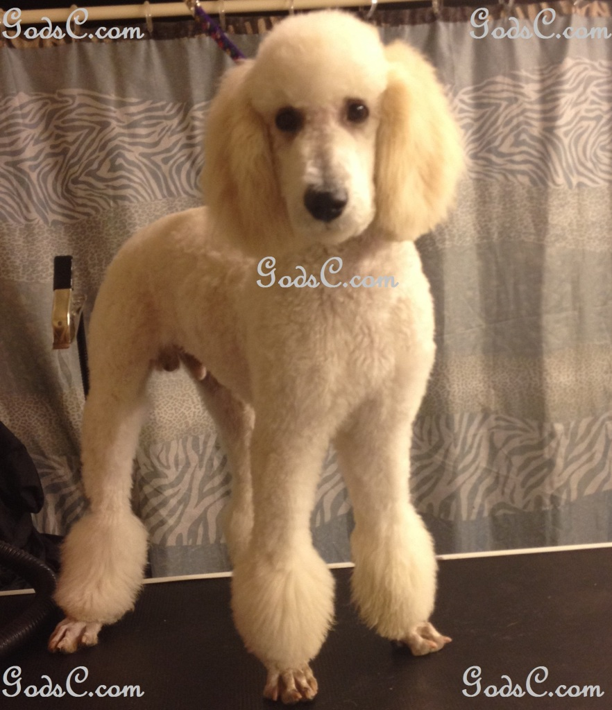 Steve Rogers the Standard Poodle after grooming front view
