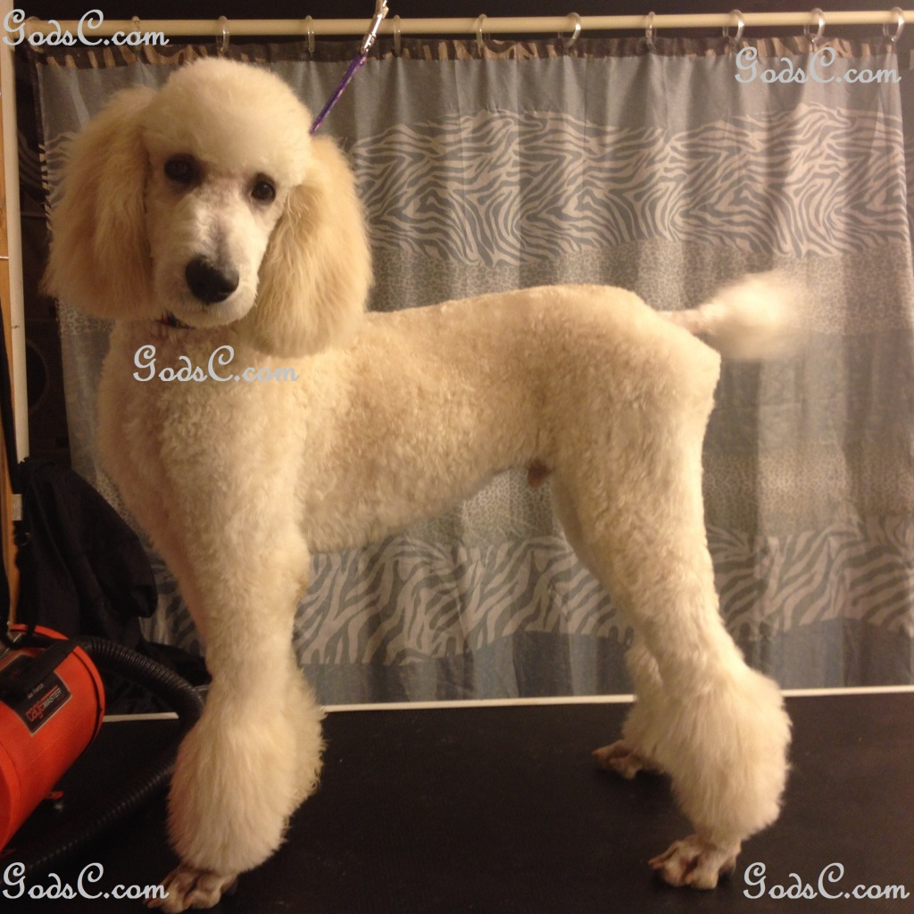 Steve Rogers the Standard Poodle after grooming left side view