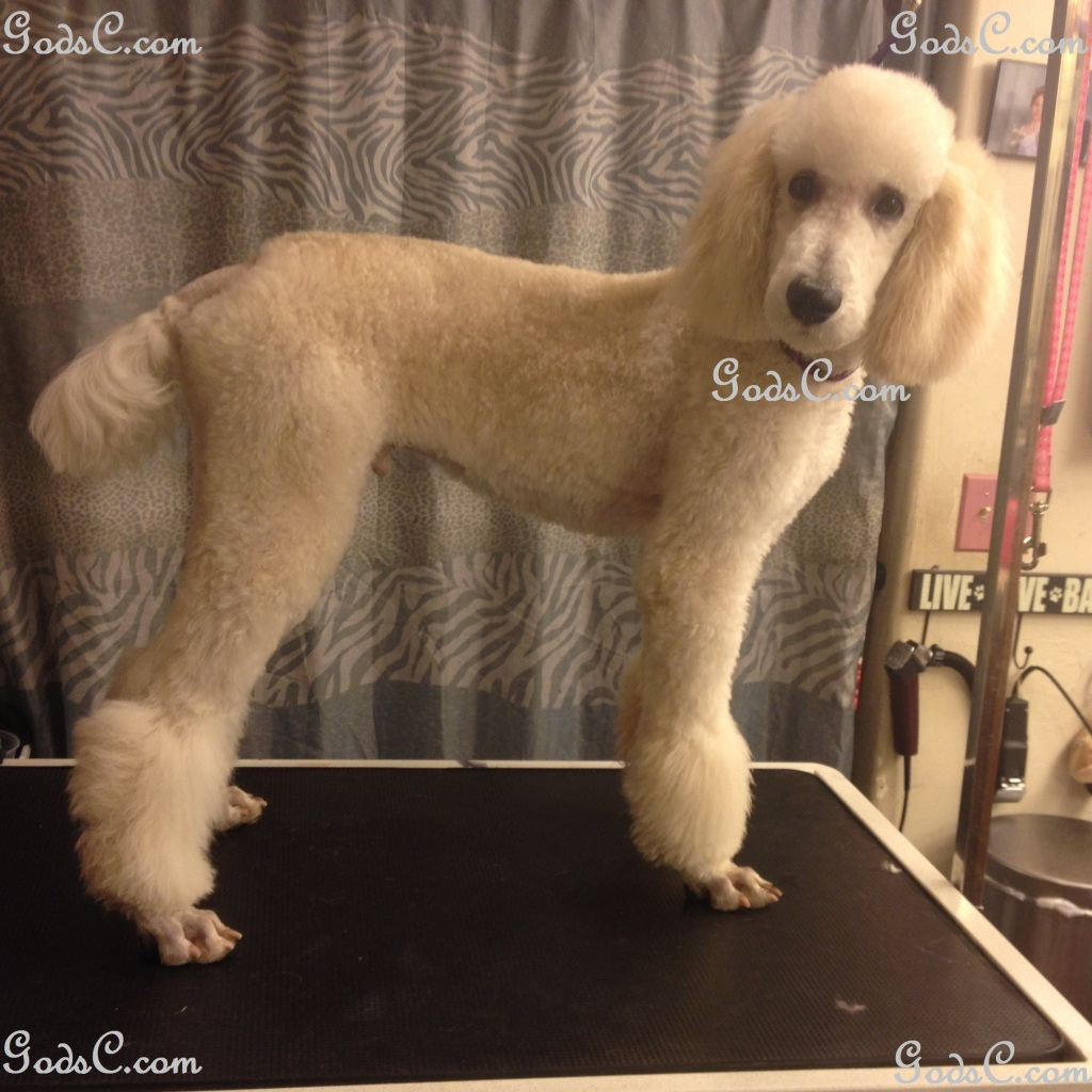 Steve Rogers the Standard Poodle after grooming right side view