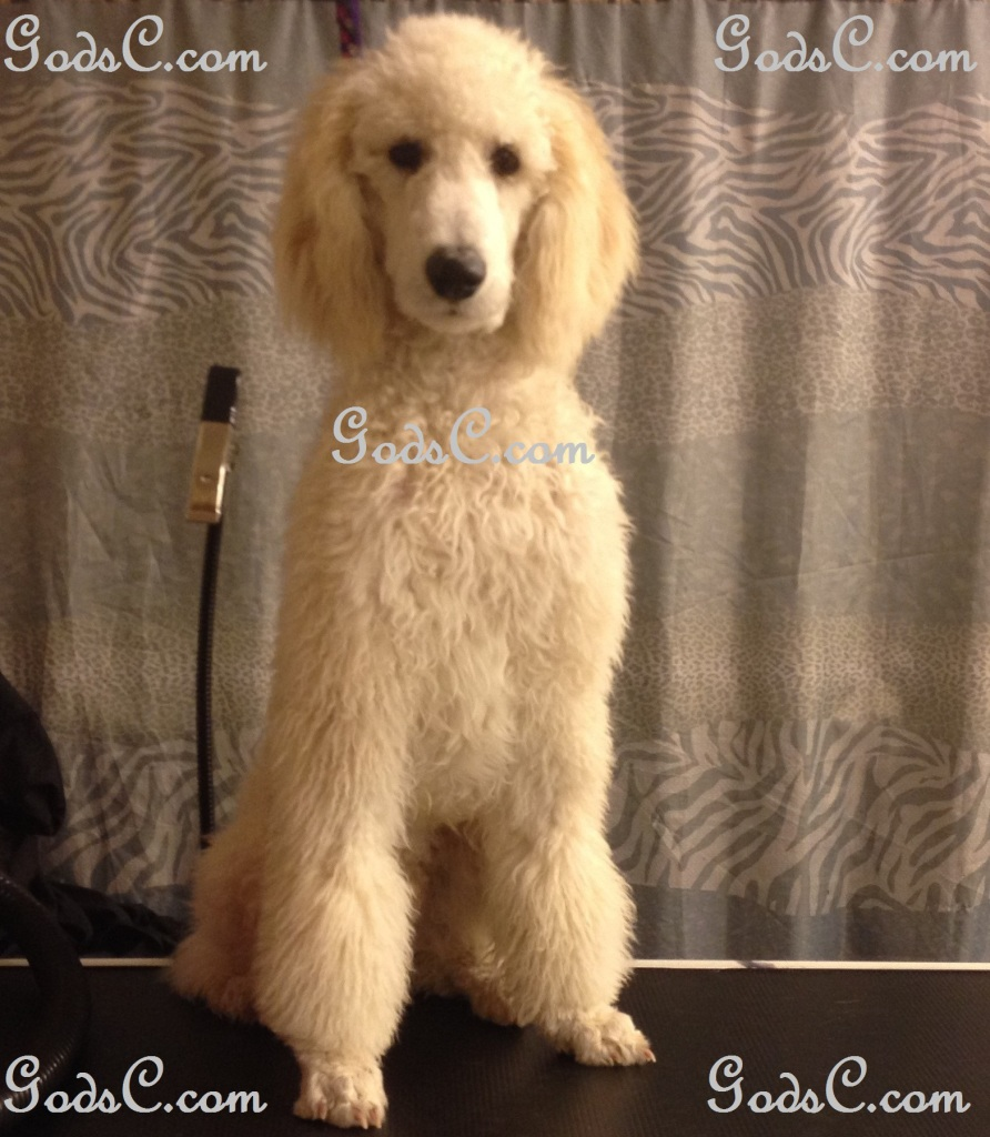 Steve Rogers the Standard Poodle before grooming front view