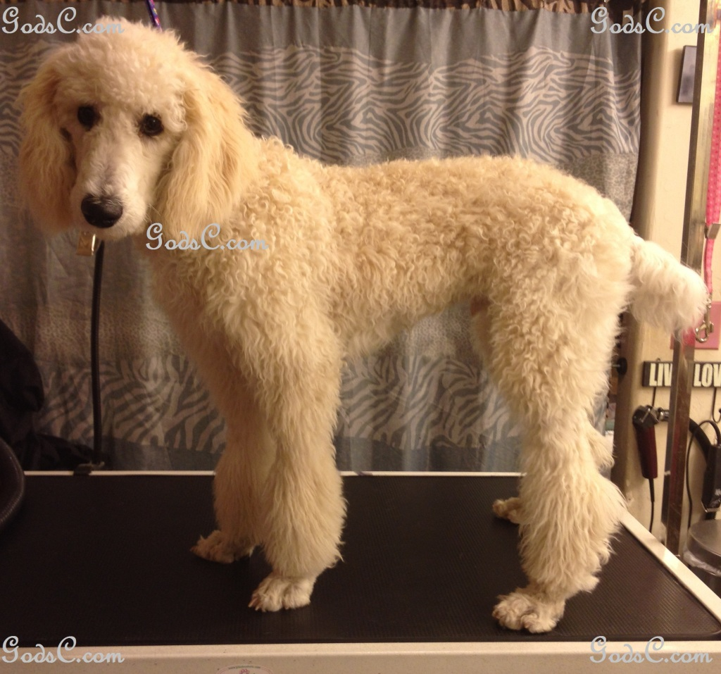 Steve Rogers the Standard Poodle before grooming left side view