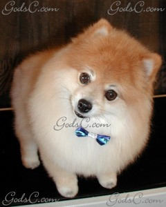 Teddy the Pomeranian after grooming front view 2012