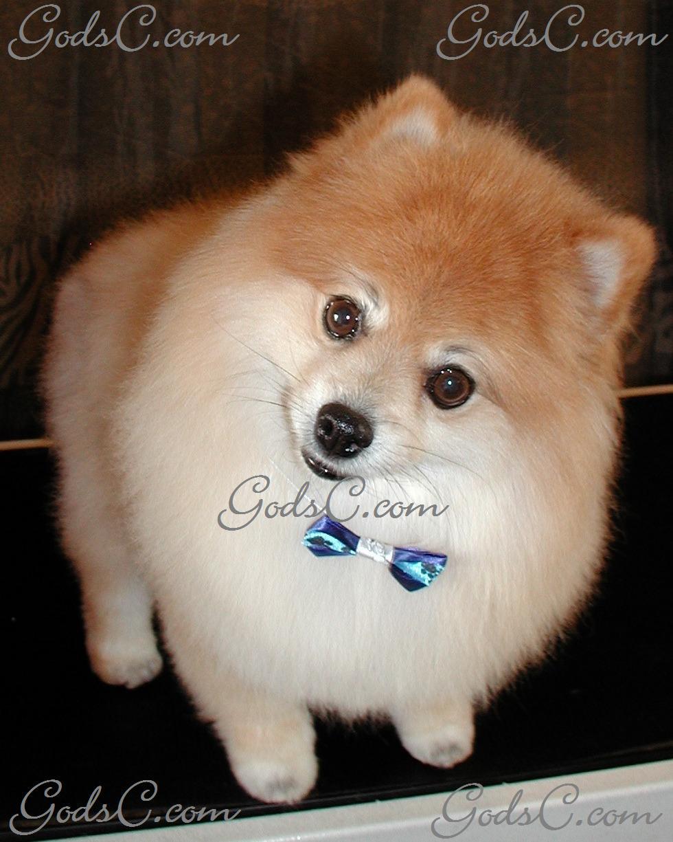 Pomeranian Gods Creatures