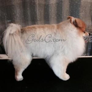Teddy the Pomeranian after grooming right side view 2014