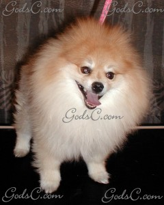 Teddy the Pomeranian before grooming front view 2012