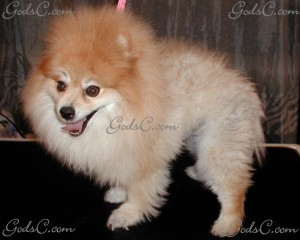 Teddy the Pomeranian before grooming left side view 2012