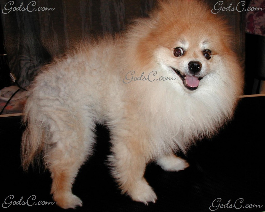 Teddy the Pomeranian before grooming right side view 2012
