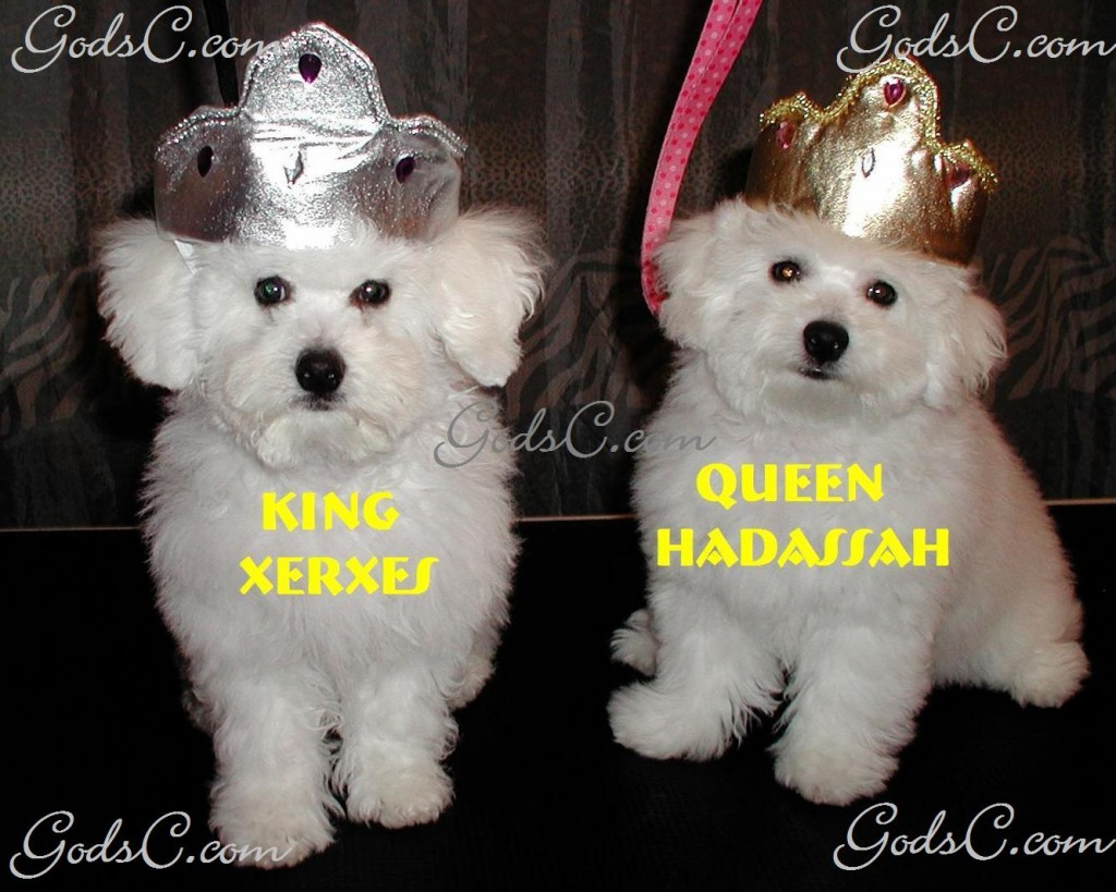 AKC Bichon Frise puppies King Xerxes and Queen Hadassah