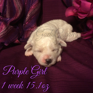 1 week old Bichon Frise puppy purple female
