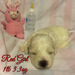 1 week old Bichon Frise puppy red female