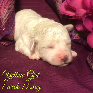 1 week old Bichon Frise puppy yellow female