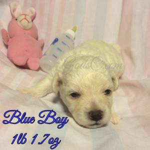 2 week old Bichon Frise puppy blue male