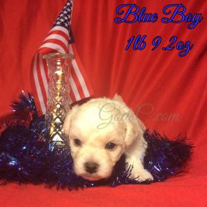 3 week old Bichon Frise puppy blue male