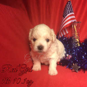 3 week old Bichon Frise puppy red female