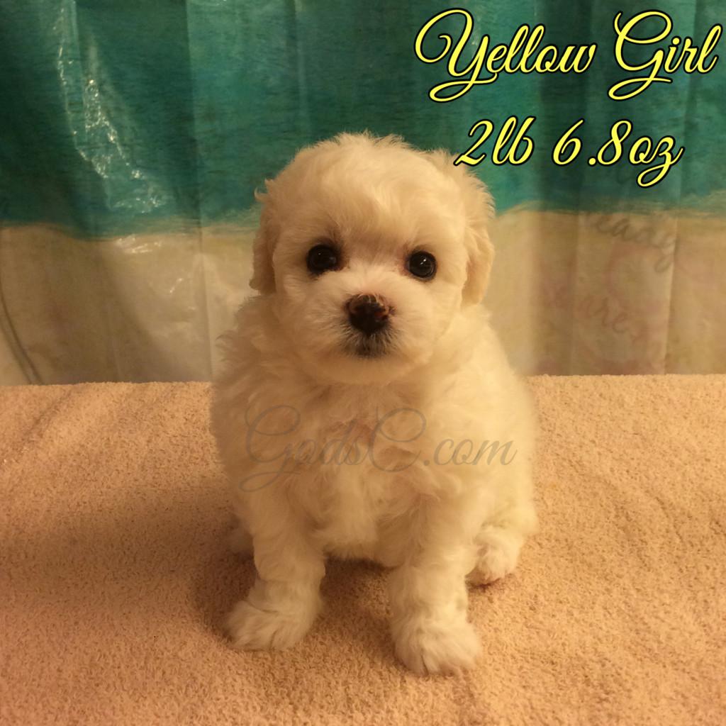 5 weeks old 7-25-16 yellow girl
