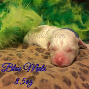 New Born Bichon Frise puppy blue male