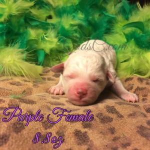 New Born Bichon Frise puppy purple female