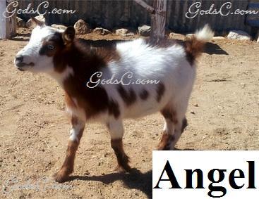 Angel Nigerina Doe Goat