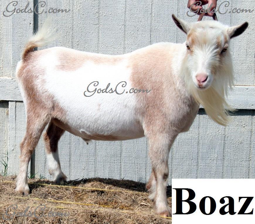 Boaz Pygmy Nigerian Buck