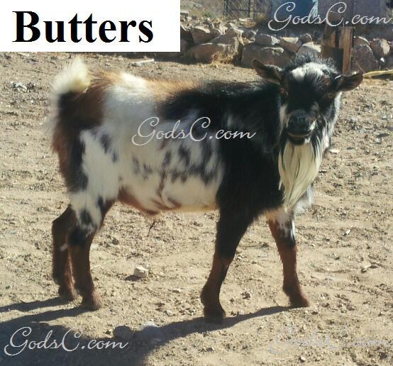 Butters Registered Nigerian Goat Buck