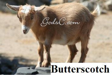 Butterscotch Pygmy Nigerian Doe Goat