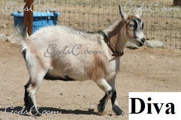 Diva Pygmy Nigerina Doe Goat